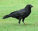 crow nicles