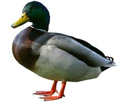 hey miye ni duck.yvone duck and I AM DUCK AND LOVELY