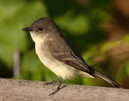 the bird PHOEBE