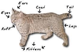 coti-cat